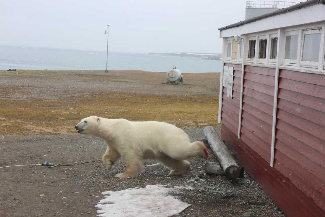 Isbjörnen har bråttom iväg efter att till slut ha lyckats ta sig ut.
