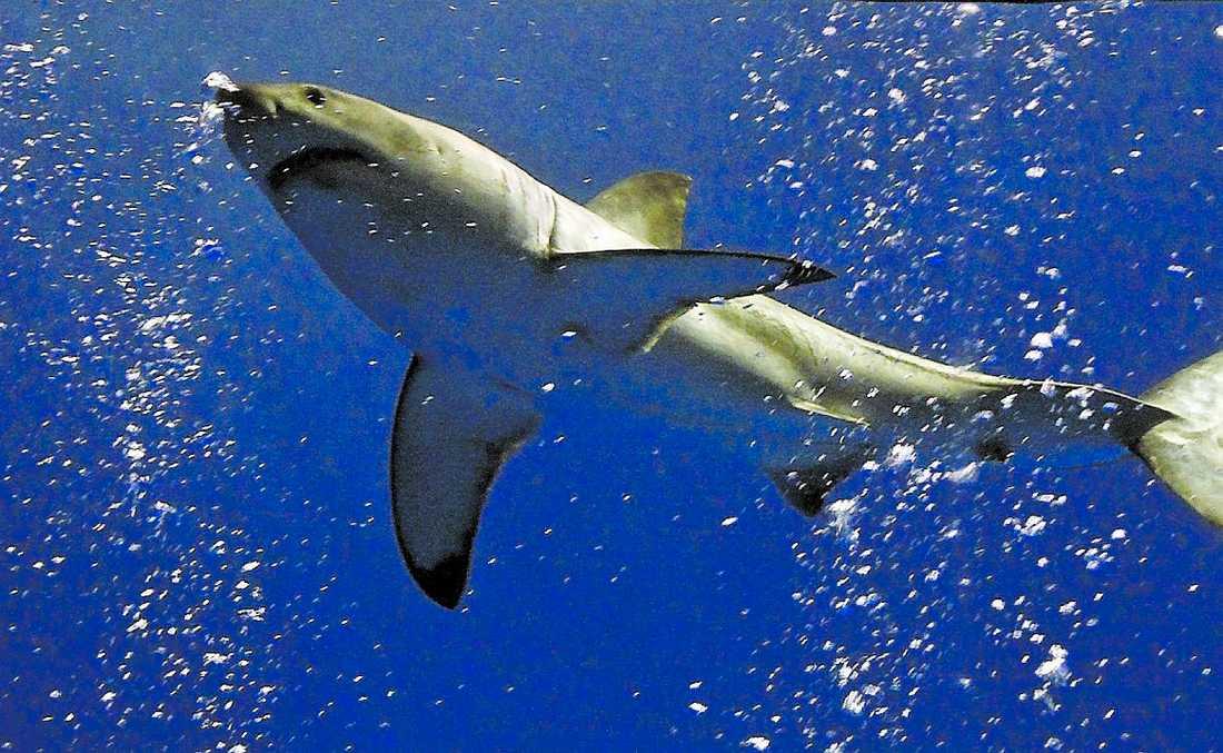 Hajarnas redan hotade tillvaro förvärras när de fiskas än hårdare för sin levers skull.