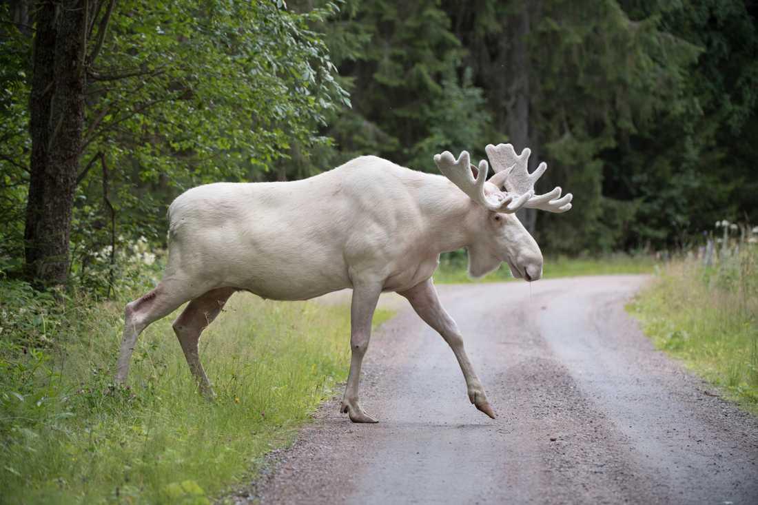 En vit älg i Gunnarskog i Värmland väcker internationell uppståndelse.
