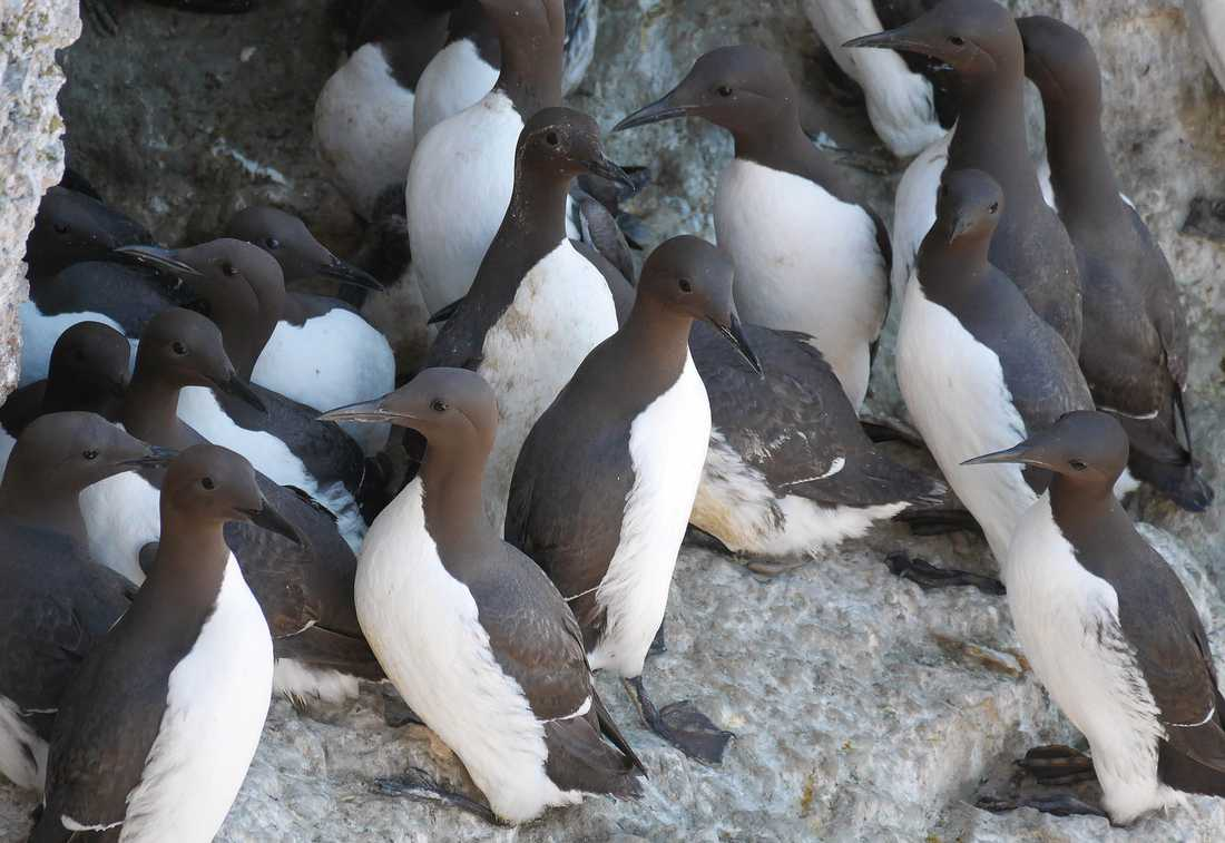 Sillgrisslor på Stora karlsön. Havsfåglarna spillning är en drivande motor i öns näringskedja. Arkivbild.