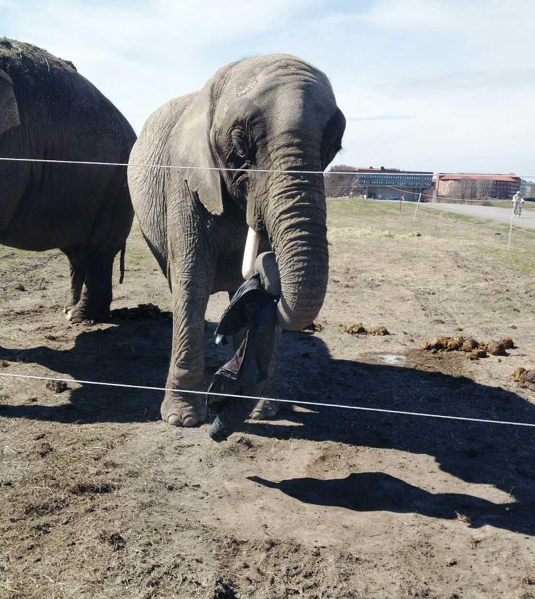 En av Cirkus Maximums elefanter tuggar på en jacka på Gärdet i Stockholm.