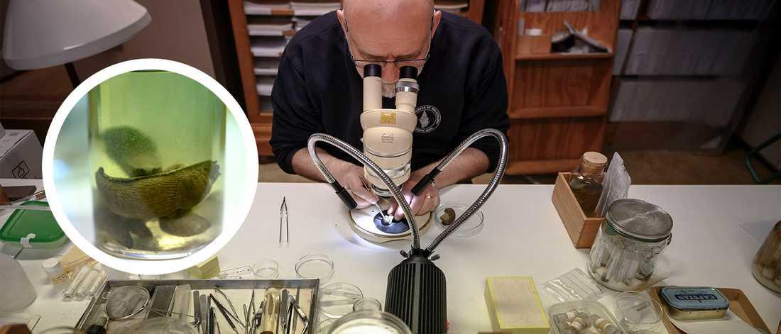 Ted von Proschwitz, biolog och snigelexpert på Göteborgs Naturhistoriska museum, är expert och forskar om sniglar.