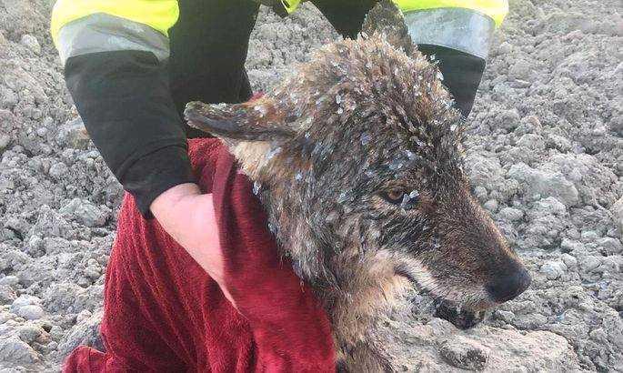 Tre byggarbetare såg hur ett djur kämpade för sitt liv i det iskalla vattnet.