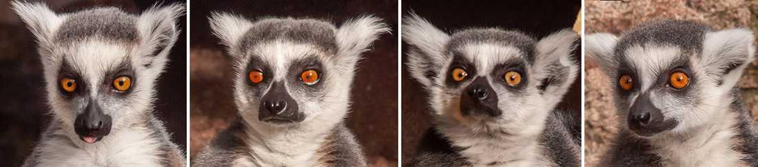 Lemurligan: Evert 6 månader, Otto 11 år, Branka 4,5 år och Denga 1,5 år.