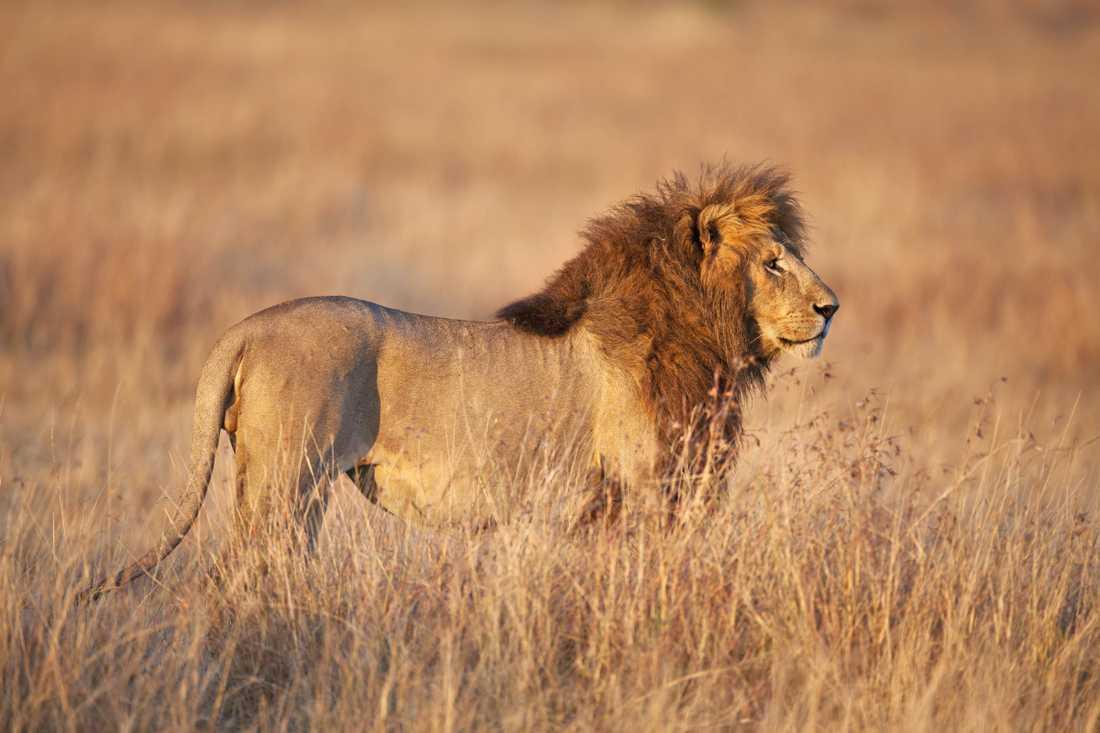 Också lejonen är hotade.