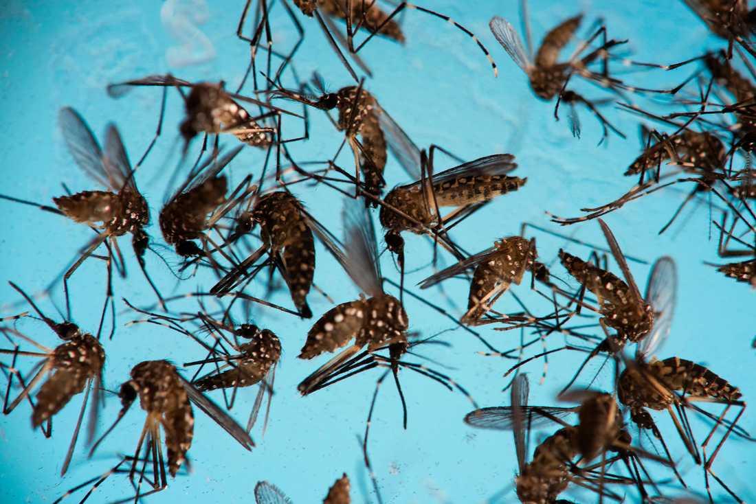 Det ändrade klimatet kan med tiden få myggor av arten Aedes aegypti att etablera sig i Europa. Myggorna sprider sjukdomar som gula febern och dengue-feber. Arkivbild.
