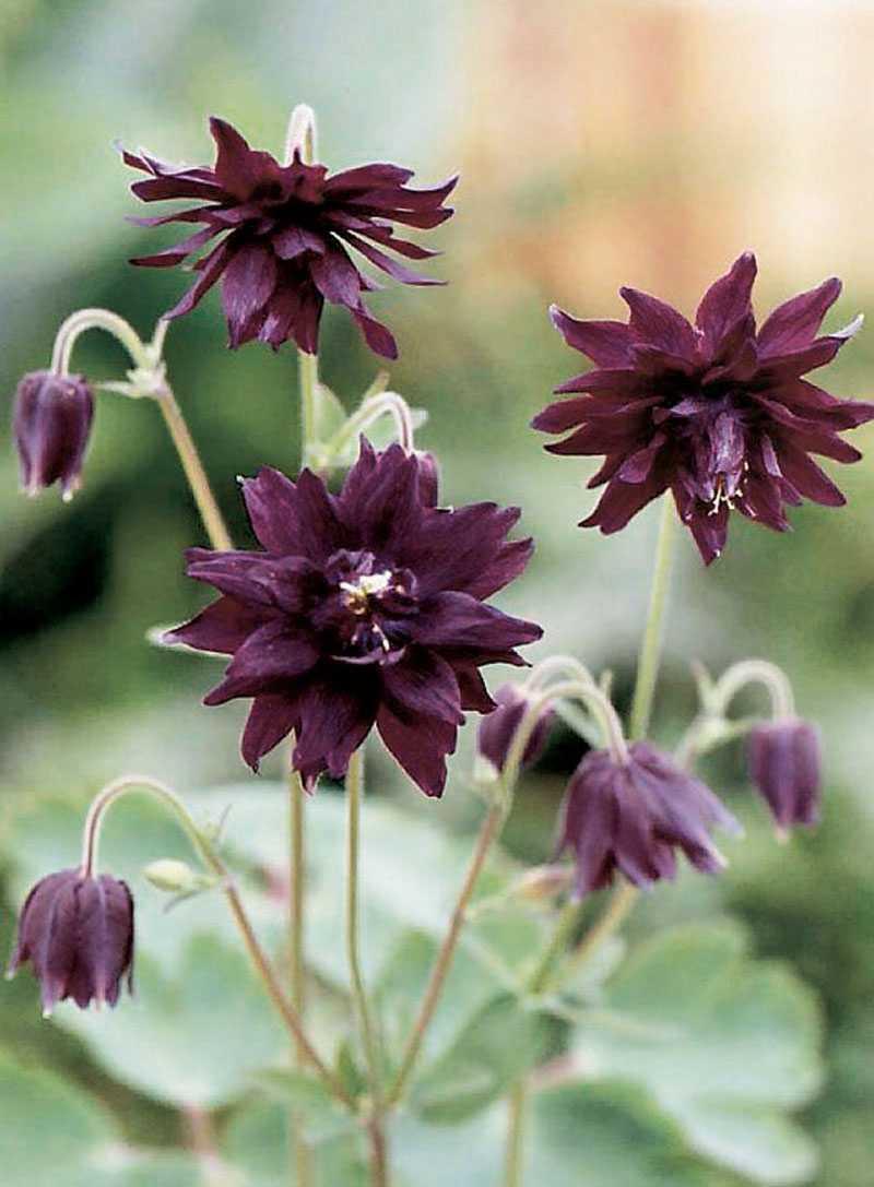 'Miss M. I Huish', Aquilegia vulgaris. Läckert mörkt purpurfärgad. Tänk den i ett hav av vita blommor. (www.froer.nu)