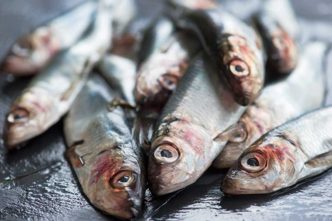 Fina fiskar av denna typ. Rekordfångsten innebär att årets surströmming redan är säkrad. Arkivbild.