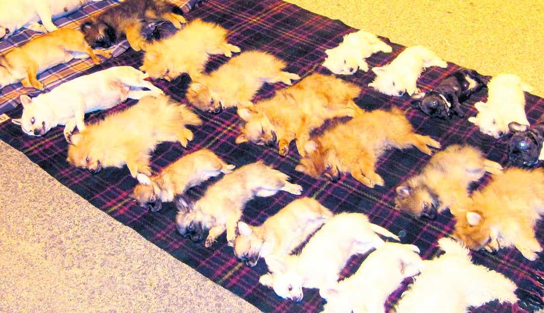 kan vara sjuka 22 av hundarna avlivades direkt på platsen. Insmugglade hundar kan ha flera mycket smittsamma sjukdomar – tille xemple rabies och dvärgbandmask.