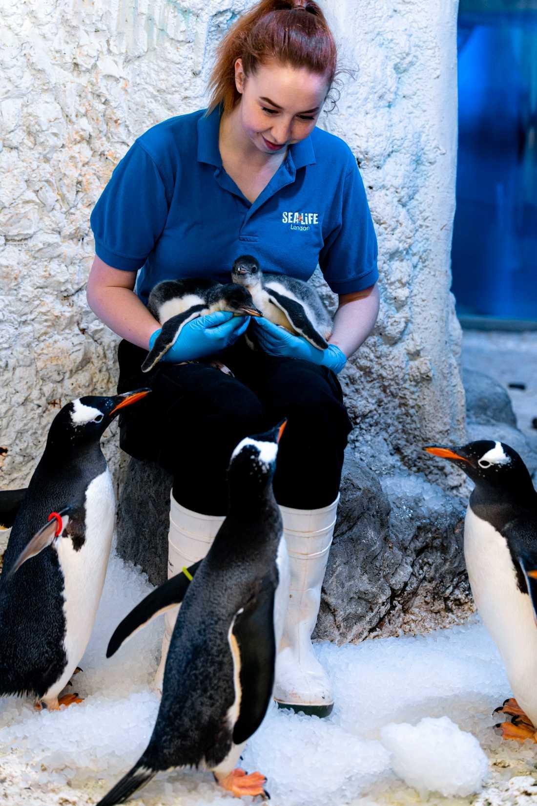 De två nyfödda tillskotten till pingvinkolonin på Sea Life London.