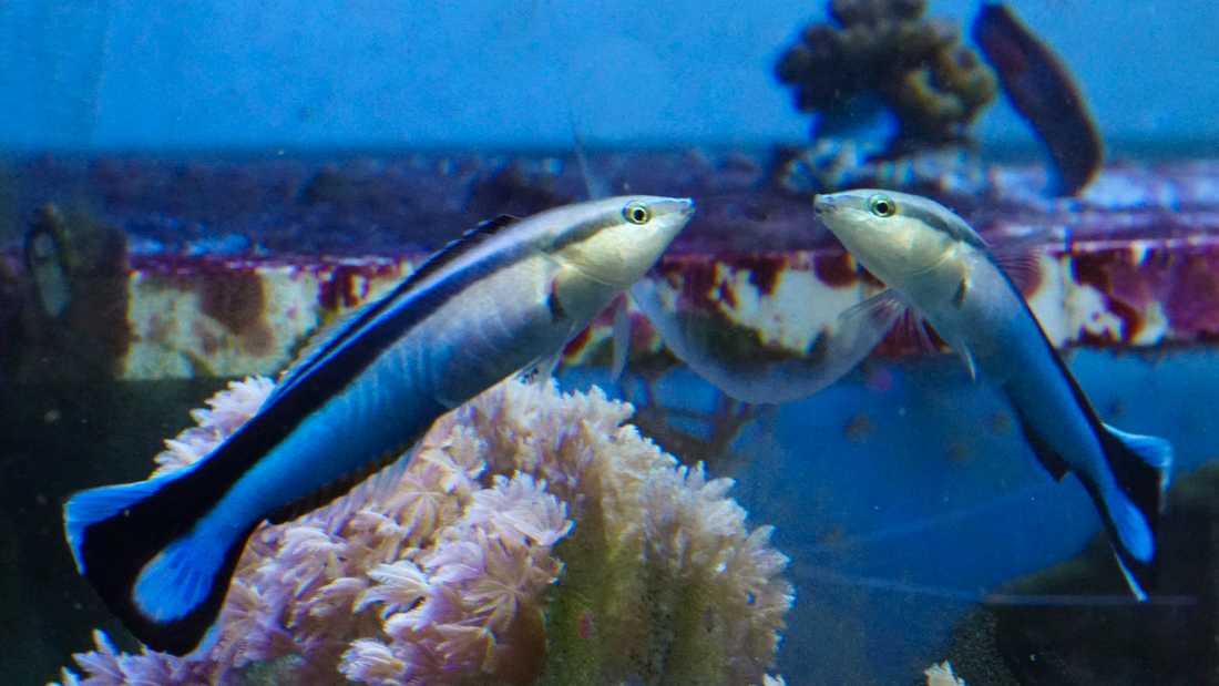 Blå putsarfiskar kan känna igen sig själva i en spegel i en vanlig testmetod, enligt en ny studie.