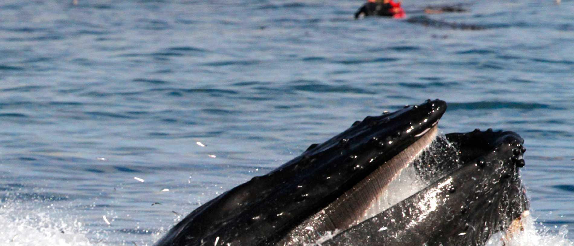 Stor val har strandat på Öland