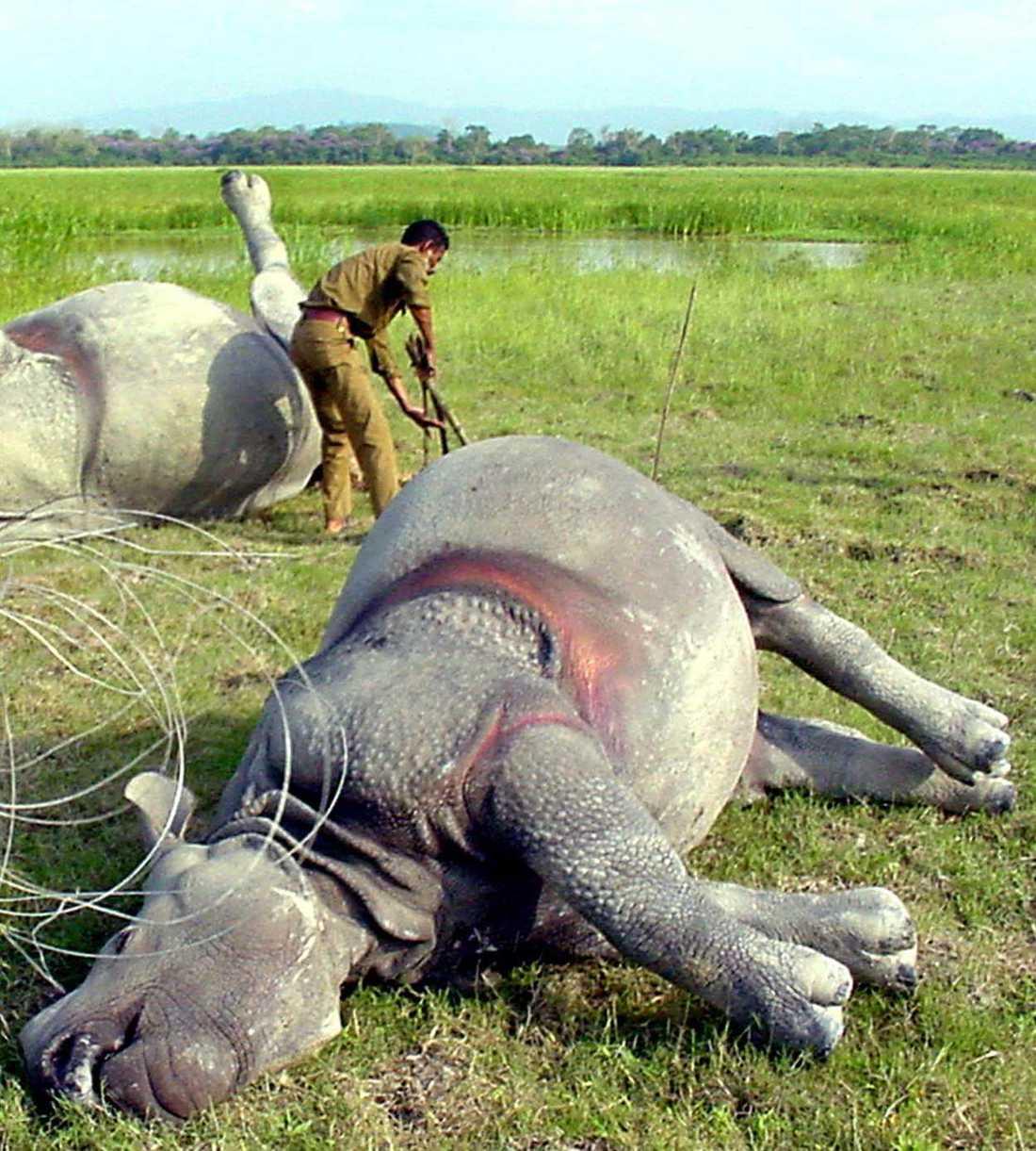 Noshörningar dödade av tjuvskyttar för sina horn, här i ett naturreservat i Indien.