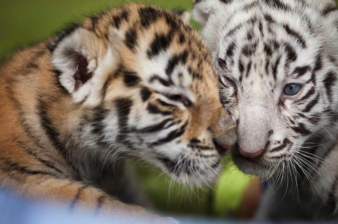 SYSKONKÄRLEK Tigerungarna övergavs av sin mamma som inte klarade av att dia dem. Nu får de växa till sig hemma hos familjen Henriksson som äger djurparken i Junsele.