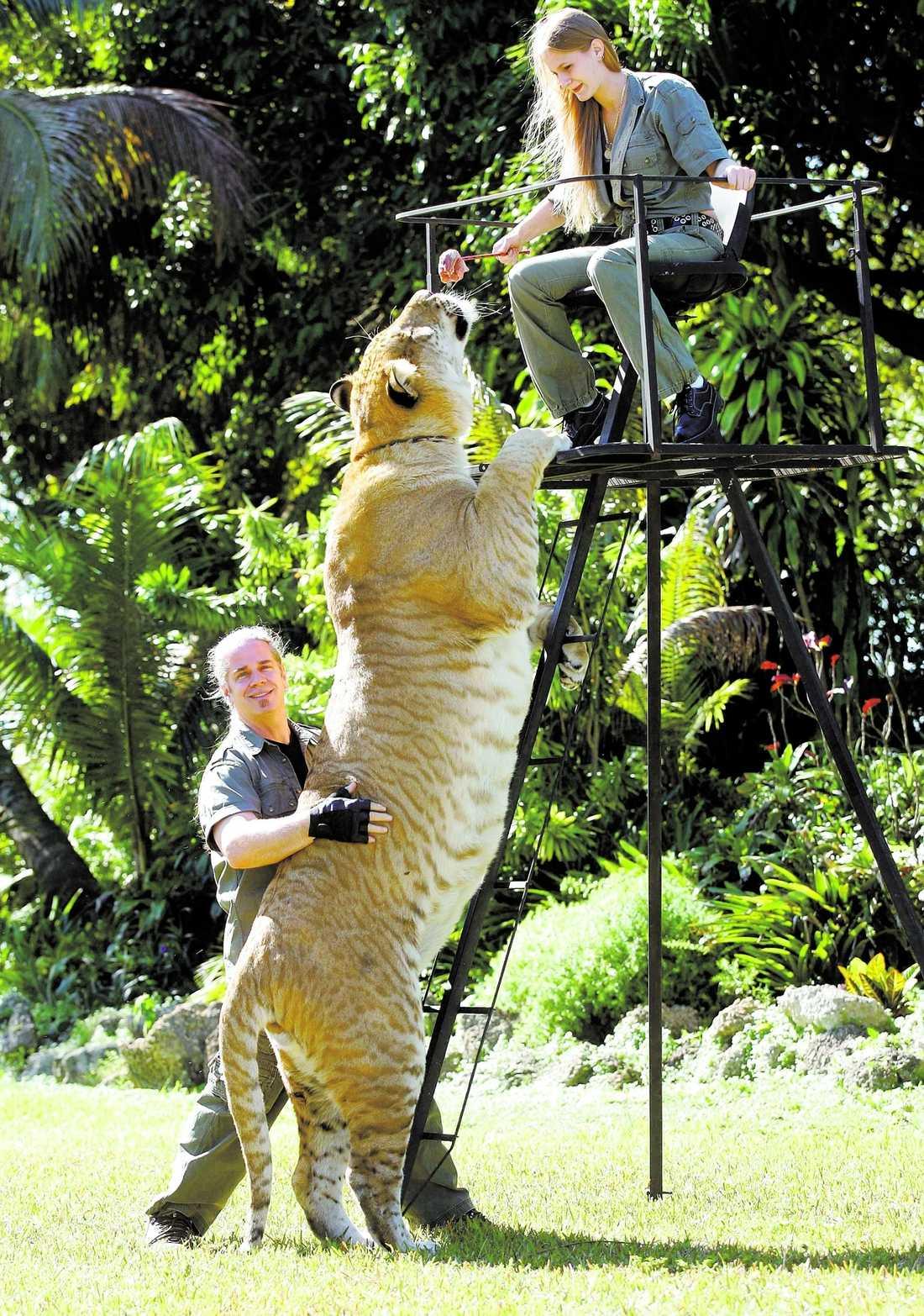 Stor katt Hercules får sig en matbit av skötaren China York. Lille Oden behöver äta ganska rejält för att matcha sin nästan fyra meter långa och halvt ton tunga farbror.