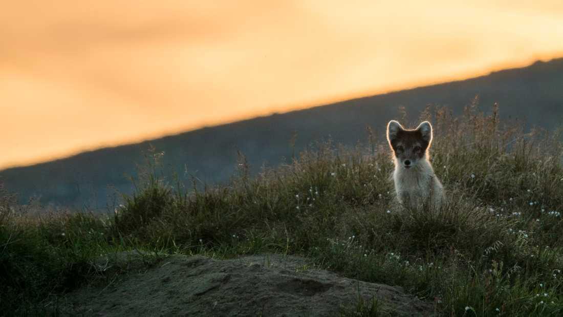 Fjällräven jagades tidigare hårt för pälsens skull. Den fridlystes i Sverige 1928 men den hårt decimerade stammen har ännu inte hämtat sig.