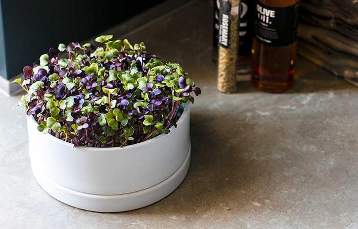 Smarta sjögräsgelén agar håller liv i kryddodlingen.