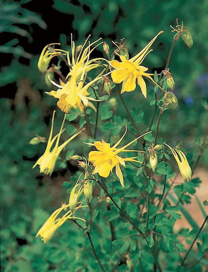 'Yellow star', Aquilegia Chrysantha. Solgula små stjärnfall som far omkring i rabatten piggar upp. Sporrarna är typiska för aklejor men kan vara olika långa. (www.fron-och-sant.se)