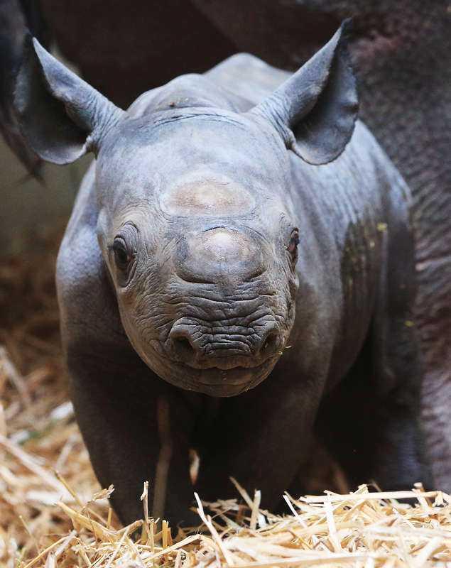 ÄR HOTADE Enligt forskare vid Stanford University är det sjätte massutdöendet här. Nu varnar de för att djurarter försvinner mer än 100 gånger snabbare än normalt. Bland de mest hotade arterna finns bland andra svart noshörning, karettsköldpaddan, sydkinesisk tiger och amurleoparden.