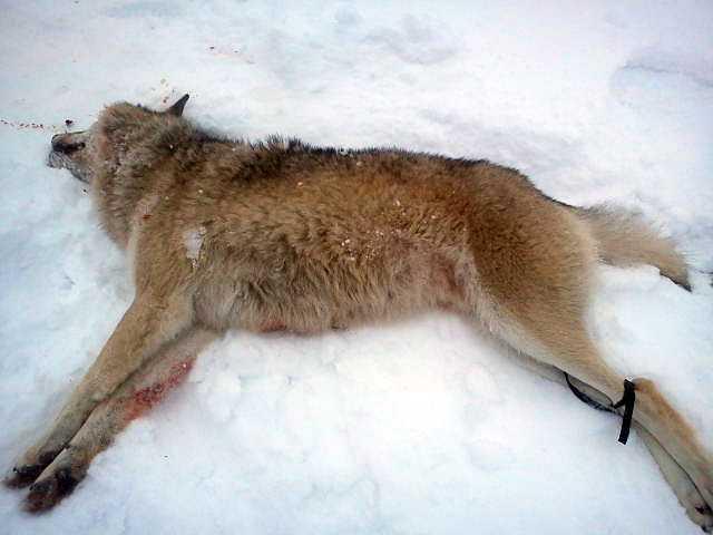 Den första vargen som fälldes i Gävleborgs län var en hane som vägde 46,5 kg. Den fälldes i Råhällan, söder om Ockelbo.