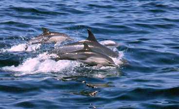 Delfinerna syns ofta från stranden.