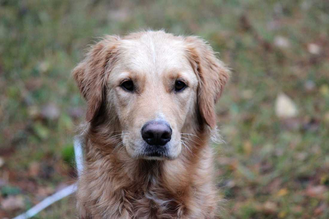 Hunden Harpo förgiftades av algerna efter att han badat i vatten med blågröna alger.