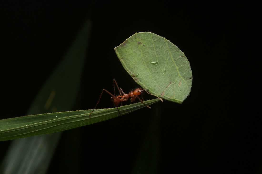 Bladskärarmyra transporterar ett blad hem till kolonin. Bladet kommer att fungera som substrat för kolonins svampodling.