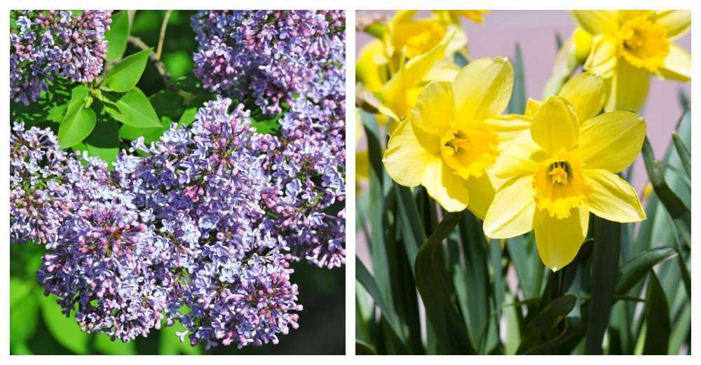 Blommande lila syren som kan sprida sig med frön i Skåne. Påskliljor räknas nu som invasiva.