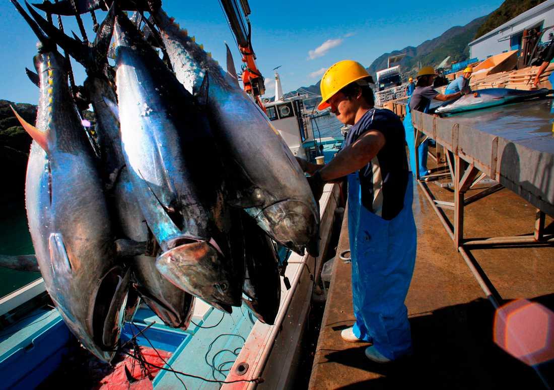 När tonfiskar dör till havs sjunker de ned till botten och fungerar som en naturlig kolsänka. Arkivbild.