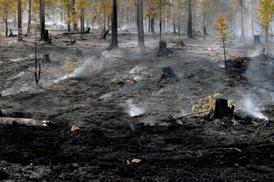 Brandhärjad skog på Älvdalens skjutfält vid Trängslet i Dalarna. Sannolikt har flera brandanpassade insekter redan anlänt på platsen.