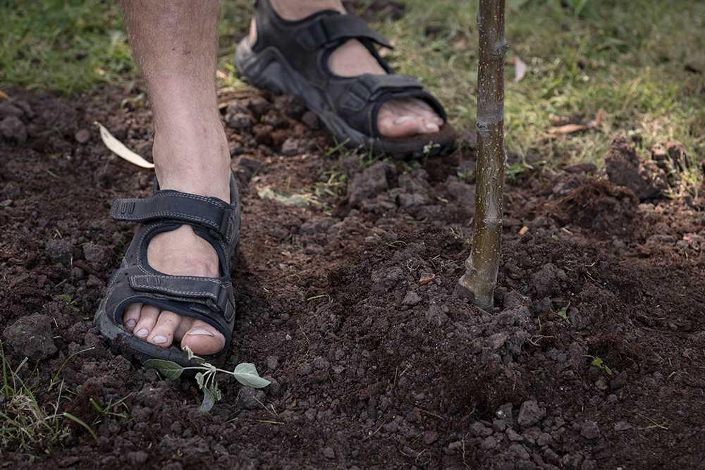 Trampa och tryck till jorden. Så rötterna får kontakt med jorden runt omkring.