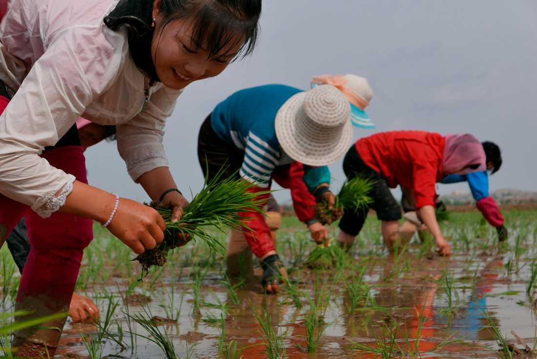 Nordkoreanska lantbrukare planterar ris på denna bild från maj i år.