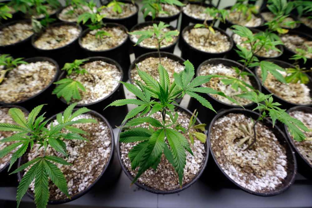 Kalifornien får nu rösta om att göra marijuanaanvändning lagligt.