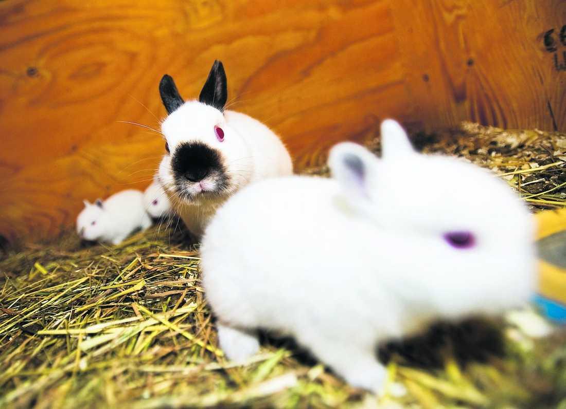 MAMMA Hans Arwangs kaninhona hittade en kavaljer i kaoset och födde tre ungar.