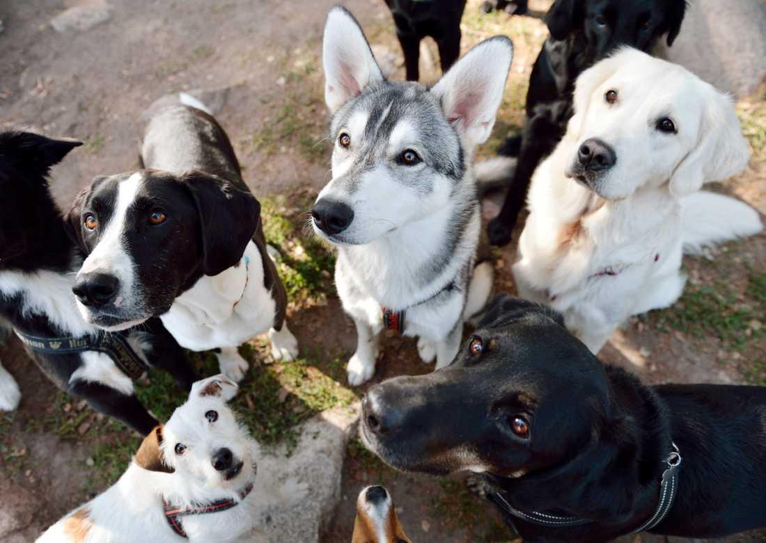 Hundar och hästar blir lätt rädda för fyrverkerier. Arkivbild.