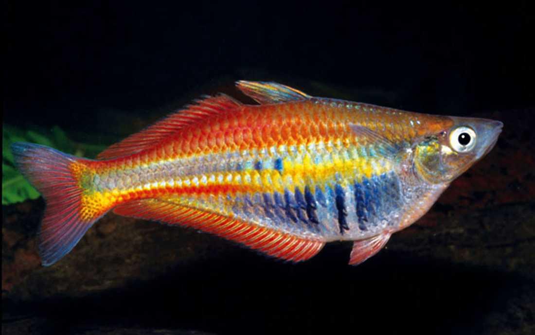 Den här regnbågsfärgade fisken är nyupptäckt.