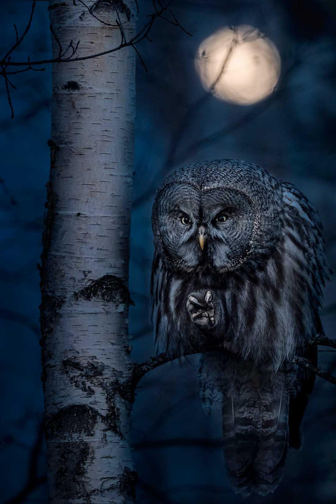 Vinnarbilden på en lappuggla i månsken.
