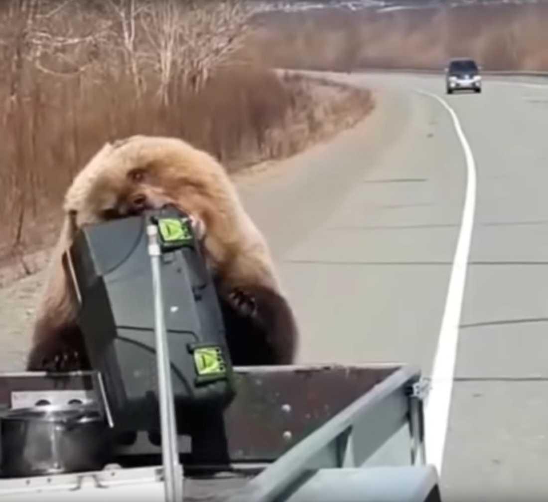 Här tar brunbjörnen jägarnas proviant.