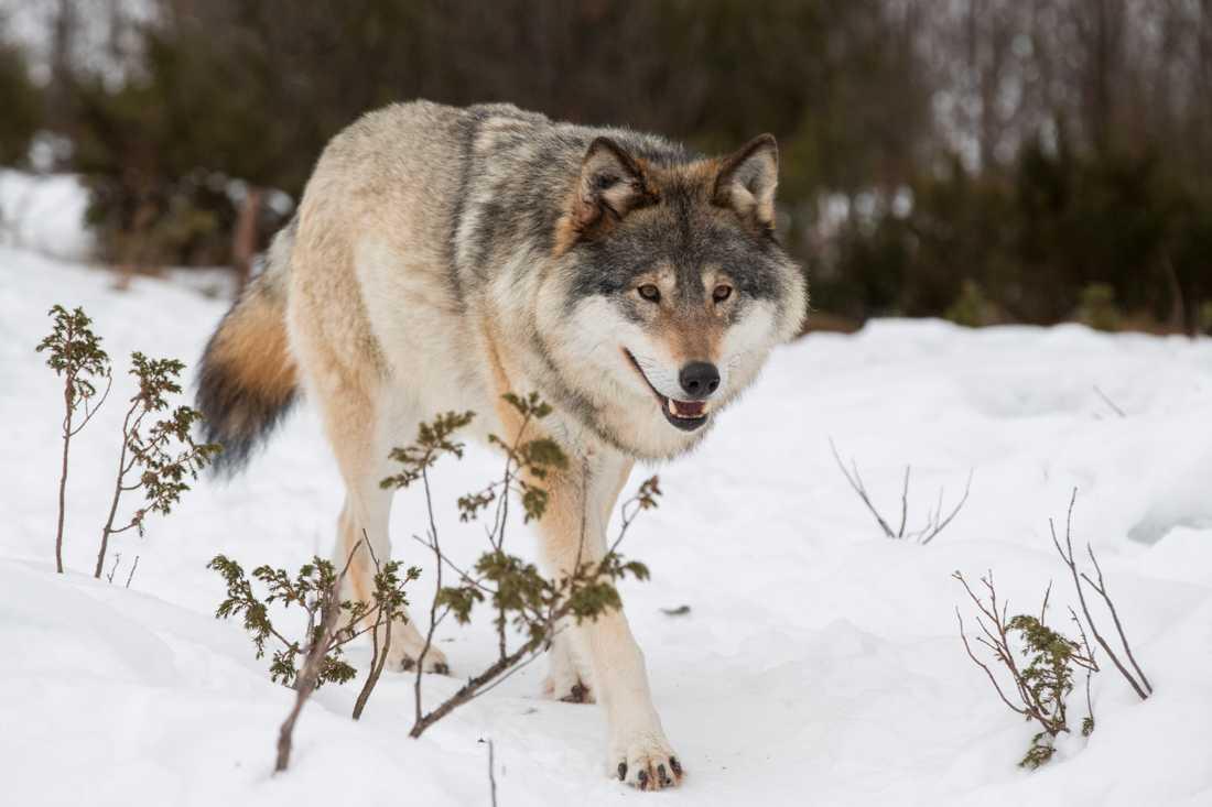 Licensjakten 2020 är inställd. Det finns för få vargar. Arkivbild.