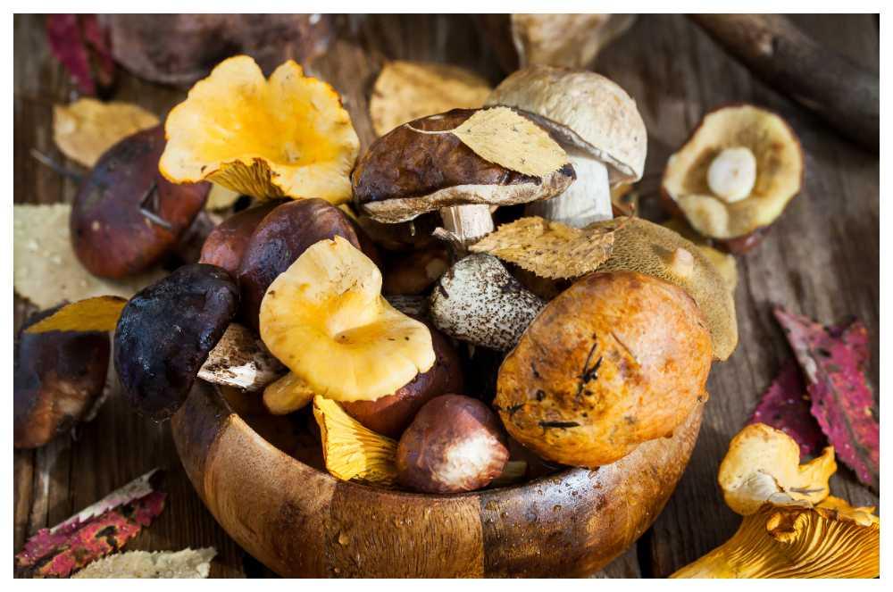 Utvidga svampkunskaperna och fyll korgen med karljohansvamp, svart trumpet och sillkremlor.