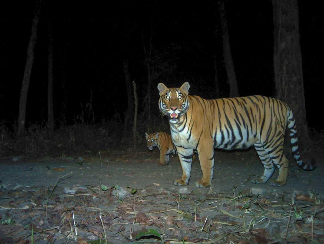 Tigrarna har ökat kraftigt i antal i Nepal i Sydasien. Tigrarna på bilden, en hona med unge, är fotograferade i kamerafälla i nationalparken Parsa.