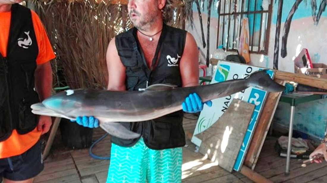 En medlem i gruppen Equinac visar upp den döda delfinen.