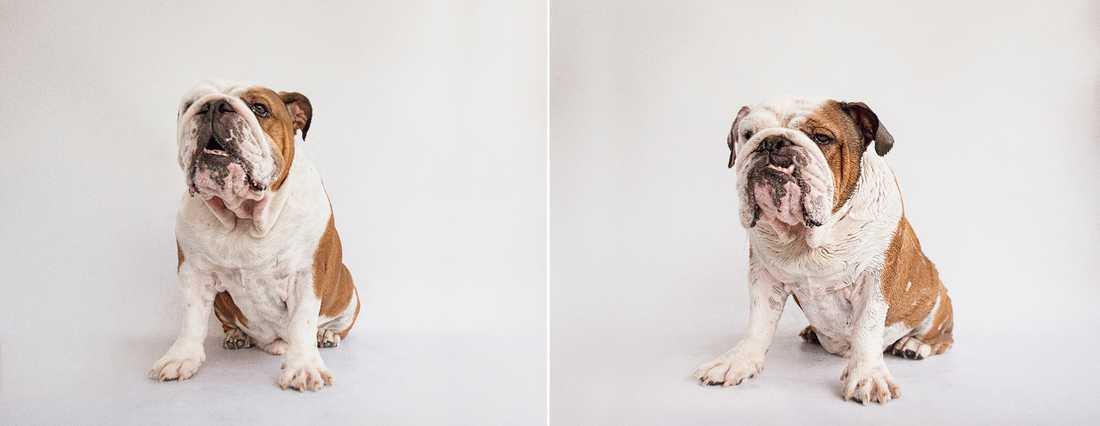 Simon – British Bulldog