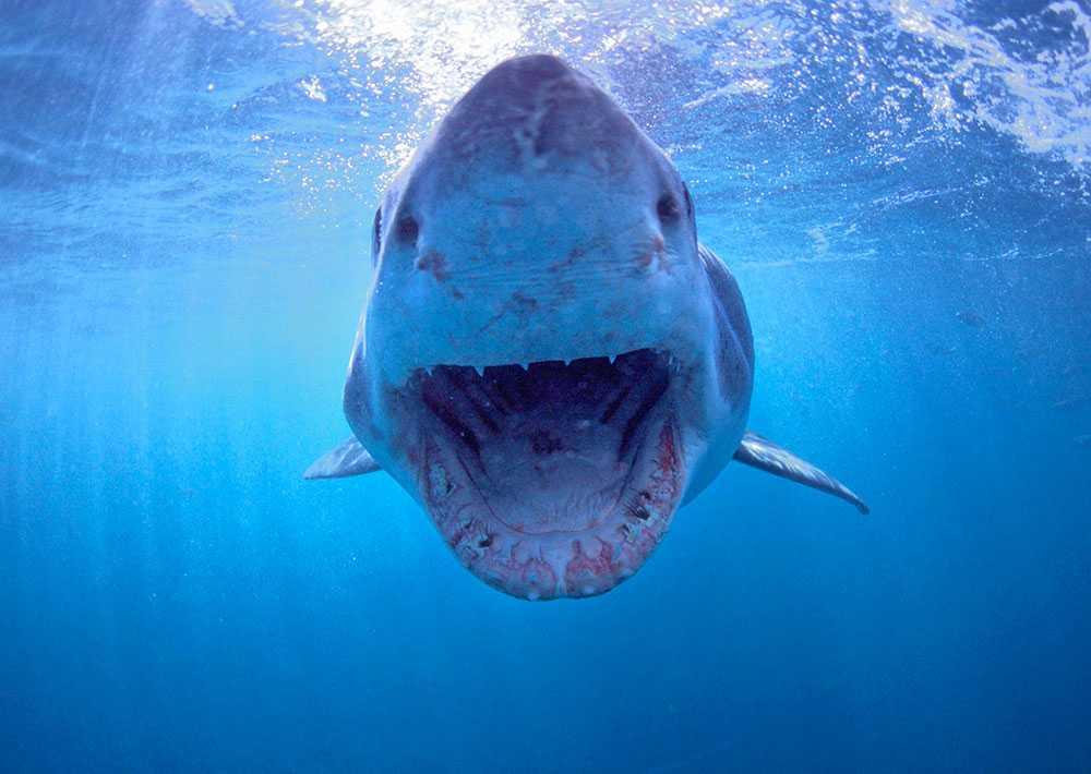 HAJ Färre än en person dör varje år på grund av hajattacker.