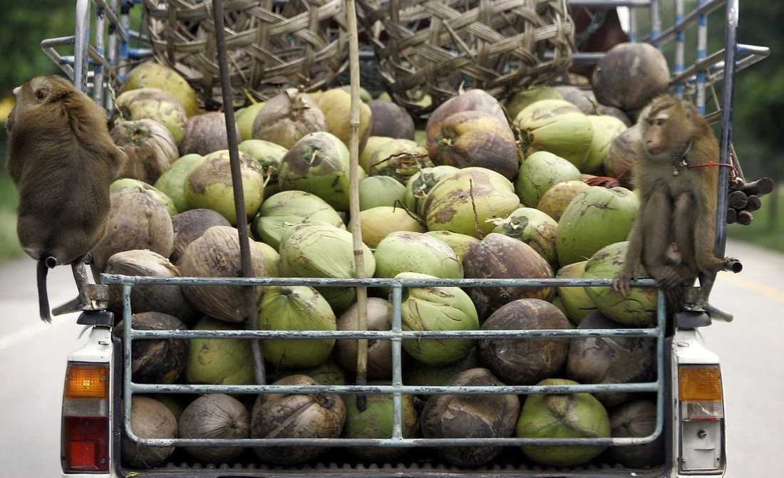 Apor som arbetat på ett flak fyllt med kokosnötter.
