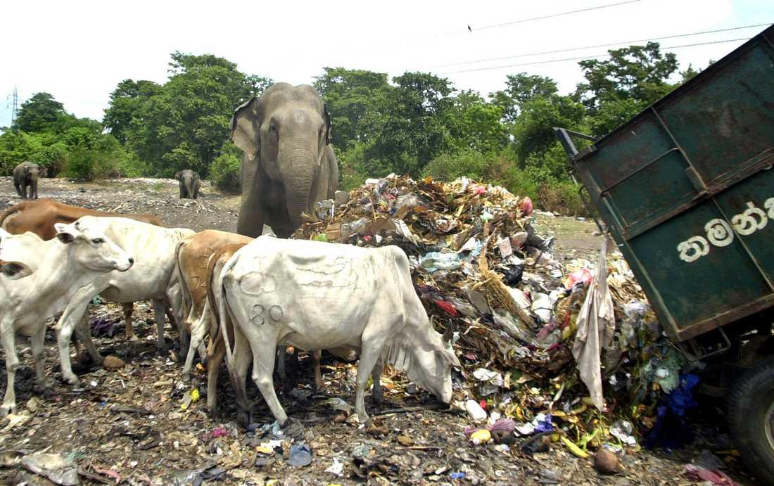 Vilda kor och elefanter äter vid en soptipp nordöst om Colombo. Arkivbild.