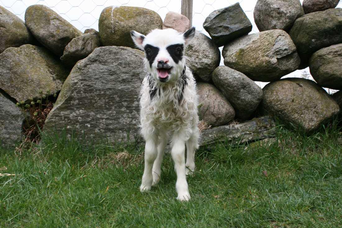 Detta måste vara världens bäääästa lamm.