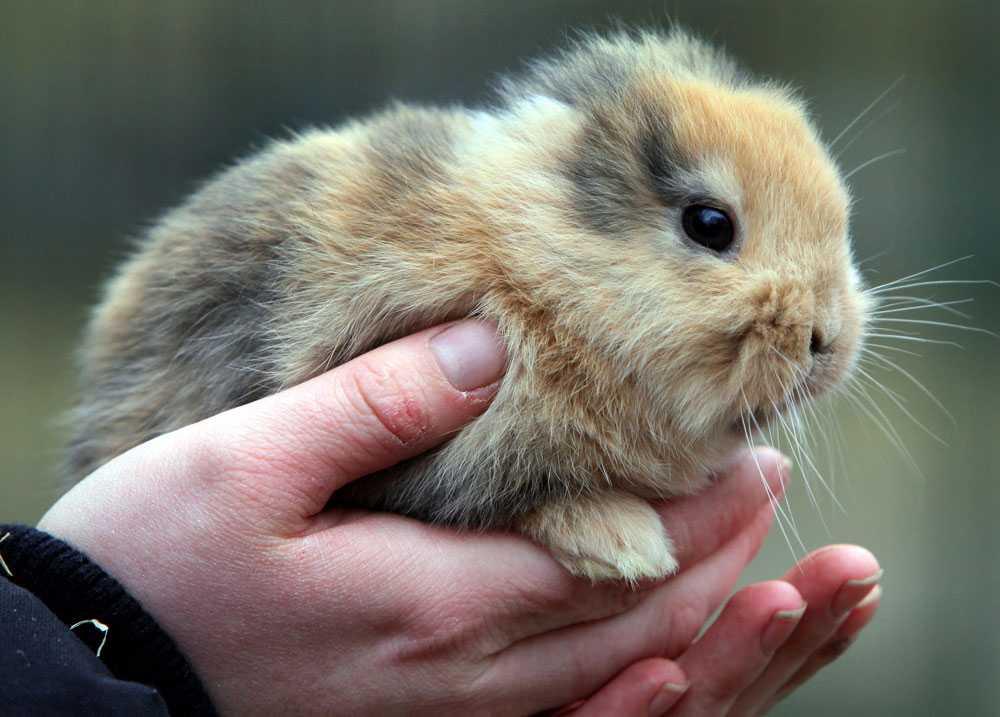 Den öronlösa kaninungen Til trampades av misstag ihjäl av en kameraman.