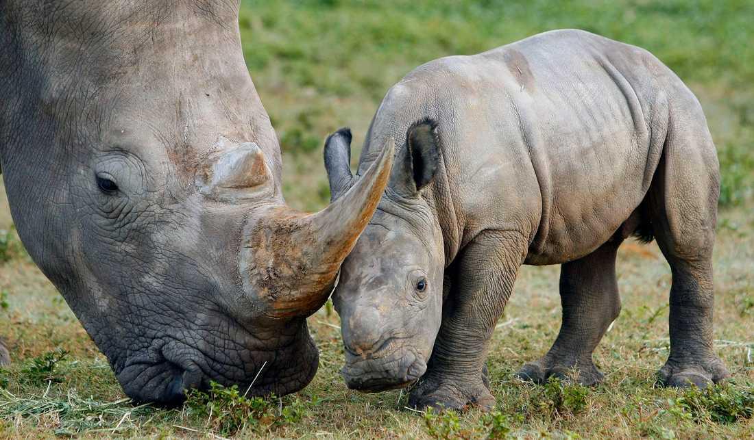 Tjuvjakten på noshörningar i Namibia har minskat till 41 dödade djur hittills i år, att jämföra med 72 under samma period i fjol, enligt landets miljö- och turismdepartement. Arkivbild.
