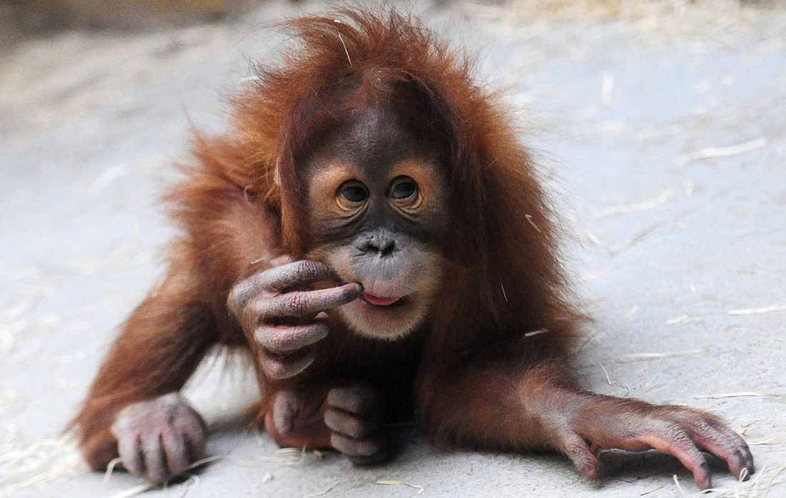 Antalet orangutanger minskar oroväckande i antal när deras livsmiljöer försvinner. Arkivbild.